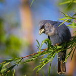 Blue Grosbeak #5