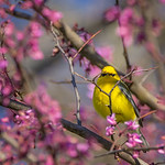 Blue-Winged Warbler in Redbud