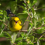 Blue-winged Warbler #4